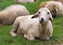 Sheepwol